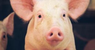 أسباب تحريم لحم الخنزير و أضراره على الصحة