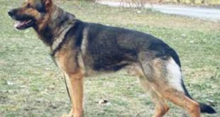 الكلاب البوليسية في السعودية