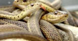 الفرق بين الحية والثعبان وصفاتهما وطريقة تكاثرهما