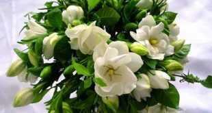 زهرة الكارينيا وفوائدها للجسم وطرائق استعمالاتها