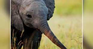 حنان الفيله