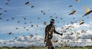 كينيا تواجه أسراب الجراد