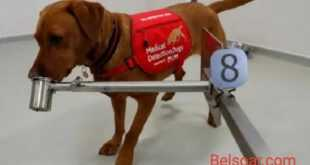 الكلاب تتولى مهمة الكشف عن فايروس كورونا