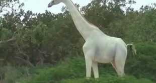 الزرافة البيضاء